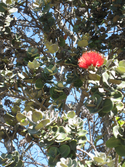 I've always thought that Ohia Everywhere would be a good title for a mystery.jpg
